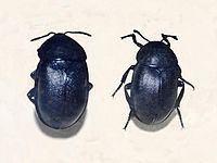 Ablattaria laevigata httpsuploadwikimediaorgwikipediacommonsthu