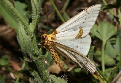 Abraxas pantaria Nature du Gard les Papillons de nuit Zrne du Frne Abraxas
