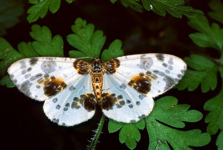 Abraxas sylvata Abraxas sylvata Clouded magpie moth Calospilos sylvatus