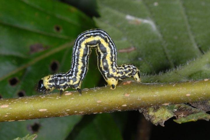 Abraxas sylvata European Lepidoptera and their ecology Abraxas sylvata