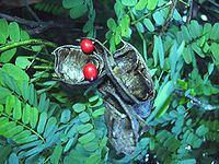 Abrin httpsuploadwikimediaorgwikipediacommonsthu