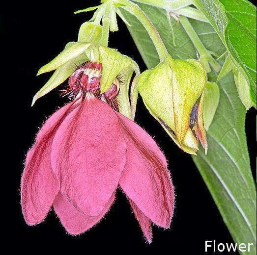 Abroma augustum Yak kapuAbroma augustum Herbal plants Sri Lanka
