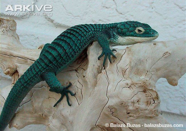 Abronia graminea Abronia photo Abronia graminea G129778 ARKive