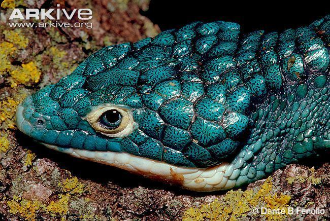 Abronia graminea Abronia videos photos and facts Abronia graminea ARKive