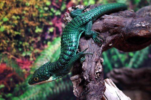 Abronia graminea Abronia graminea