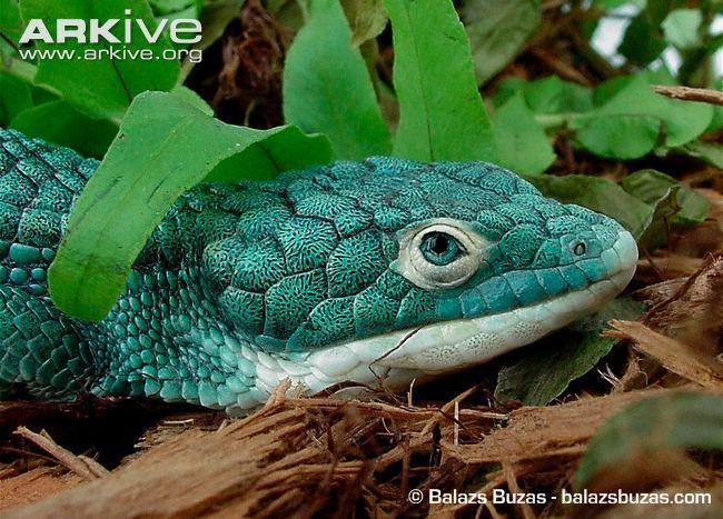 Abronia graminea Abronia photo Abronia graminea G129780 ARKive