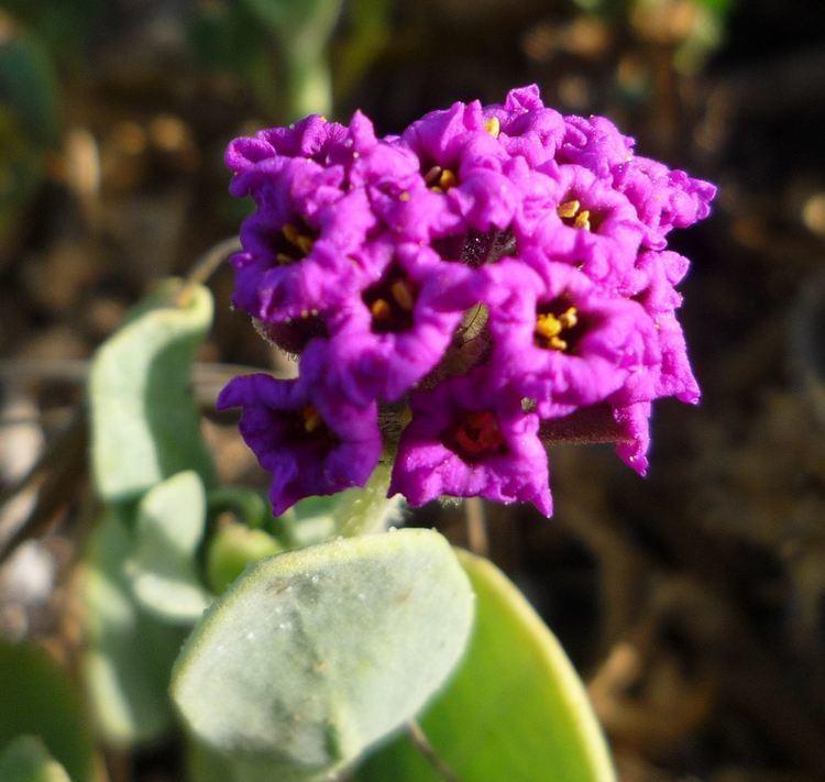 Abronia maritima Abronia maritima Wildflowers in Santa Barbara