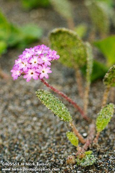 Abronia umbellata Abronia umbellata pink sand verbena Wildflowers of the Pacific