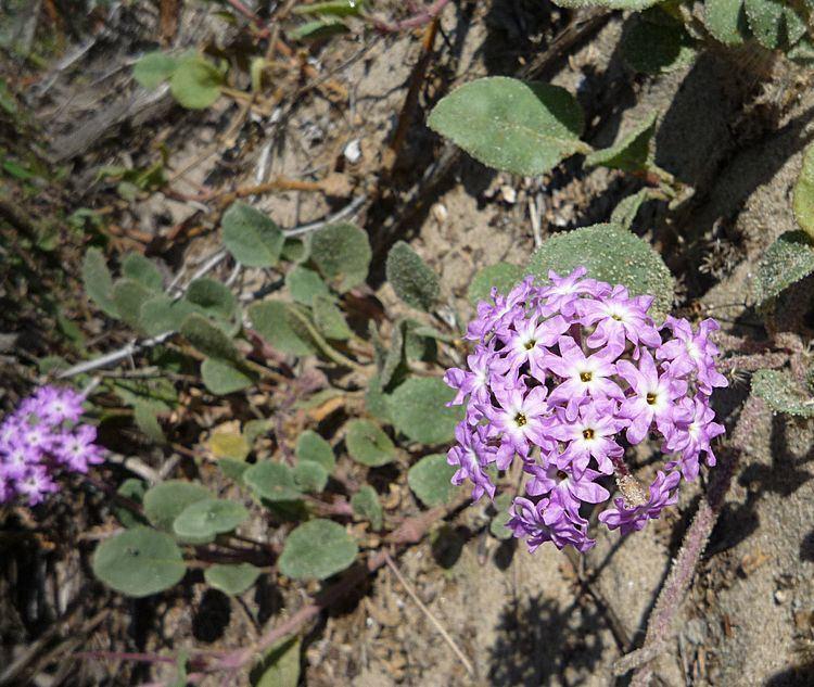 Abronia umbellata Abronia umbellata Wildflowers in Santa Barbara