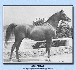Abu Farwa Arieana Arabians Heritage Notebook A Abu Farwa