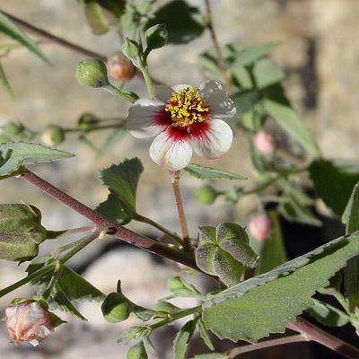 Abutilon incanum Abutilon incanum Pelotazo Hoary Abutilon Southeastern Arizona