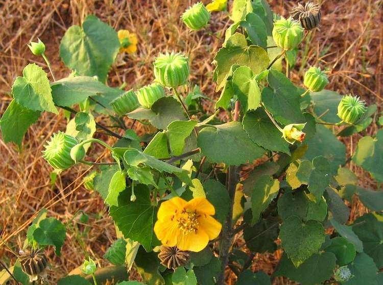 Abutilon indicum SERNEC Abutilon indicum