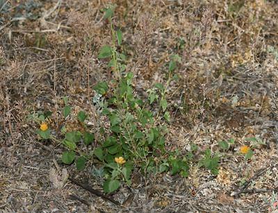 Abutilon parvulum wwwfireflyforestcomimageswildflowersplantsAb