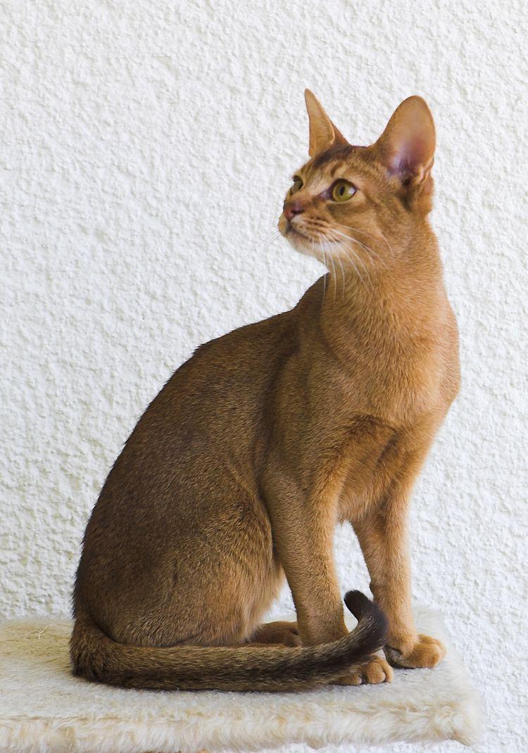 Abyssinian cat httpsuploadwikimediaorgwikipediacommons99