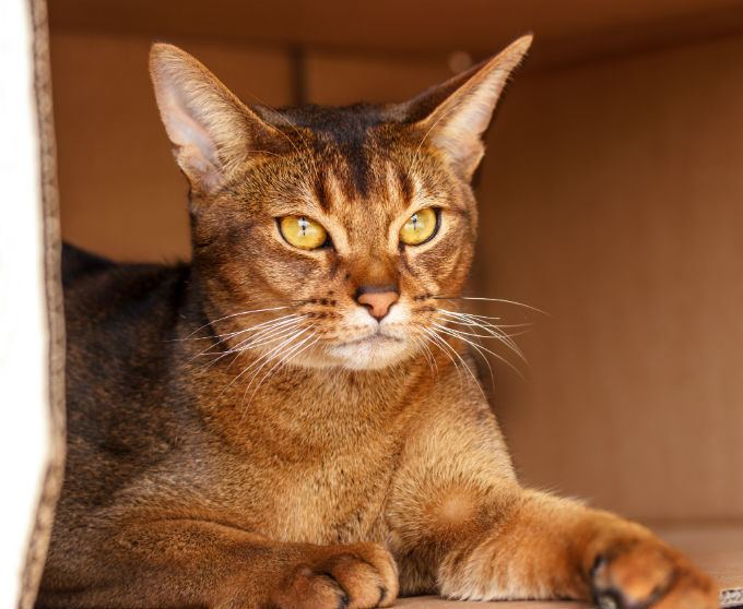 Abyssinian cat Abyssinian Cat Breed Information Pictures Characteristics amp Facts
