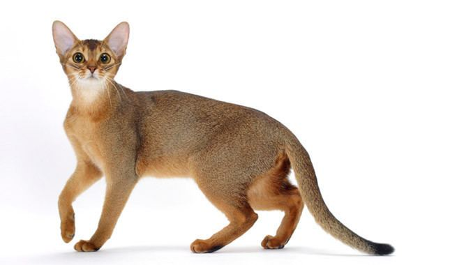 Abyssinian cat Abyssinian Cat Breed Information