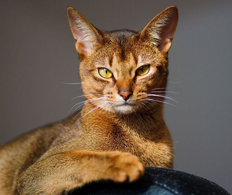 Abyssinian cat Abyssinian cat Cat Breeds Encyclopedia