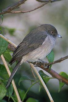 Abyssinian slaty flycatcher httpsuploadwikimediaorgwikipediacommonsthu