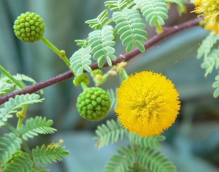Acacia Vachellia constricta Wikipedia