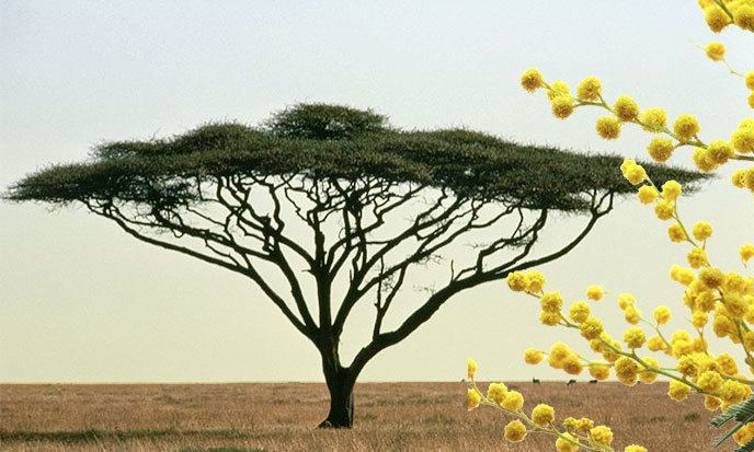 Acacia Acacia Lessons TES Teach