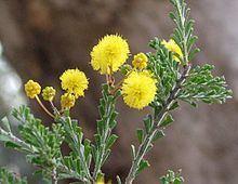 Acacia acanthoclada httpsuploadwikimediaorgwikipediacommonsthu