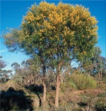 Acacia Acuminata Alchetron The Free Social Encyclopedia