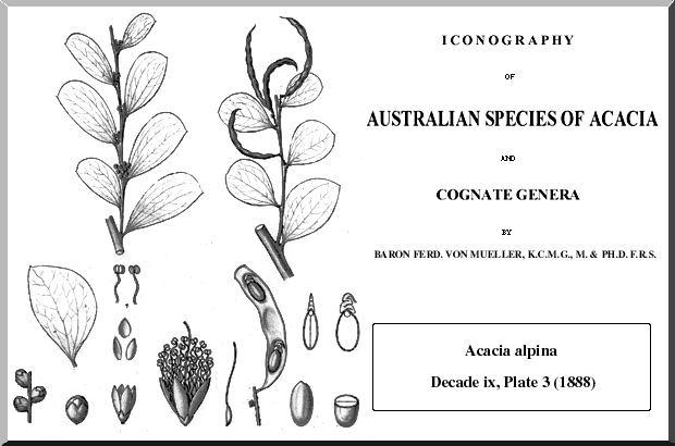 Acacia alpina httpsuploadwikimediaorgwikipediacommons00