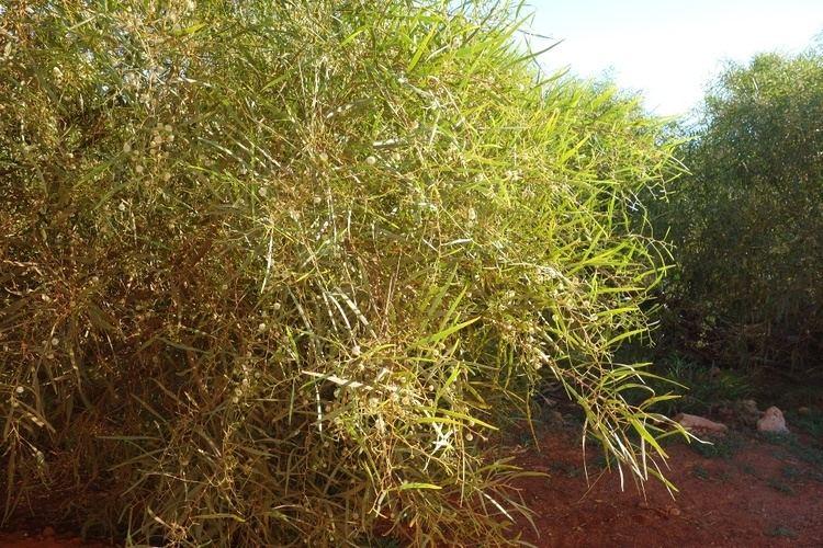 Acacia ampliceps Acacia ampliceps northwestplants
