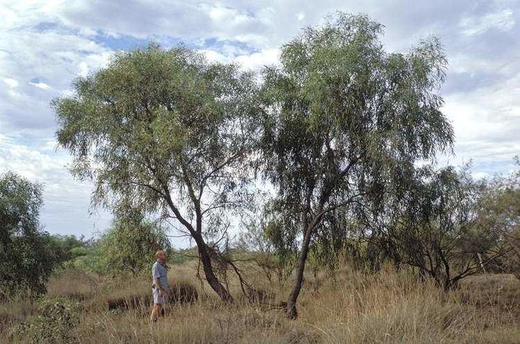 Acacia ampliceps worldwidewattlecomspeciesgallerydescriptionspi