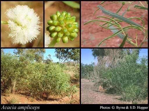 Acacia ampliceps Acacia ampliceps Maslin FloraBase Flora of Western Australia