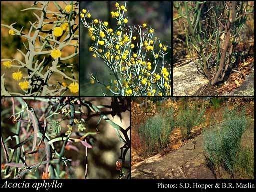 Acacia aphylla Acacia aphylla Maslin FloraBase Flora of Western Australia