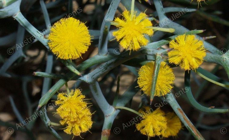 Acacia aphylla Australian Succulents Acacia aphylla Mimosaceae