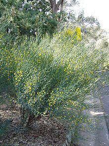 Acacia aphylla httpsuploadwikimediaorgwikipediacommonsthu