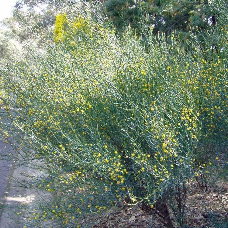 Acacia aphylla Australian Seed ACACIA aphylla