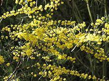 Acacia ausfeldii httpsuploadwikimediaorgwikipediacommonsthu