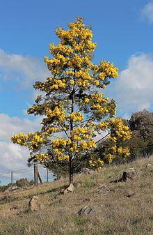 Acacia baileyana httpsuploadwikimediaorgwikipediacommonsthu