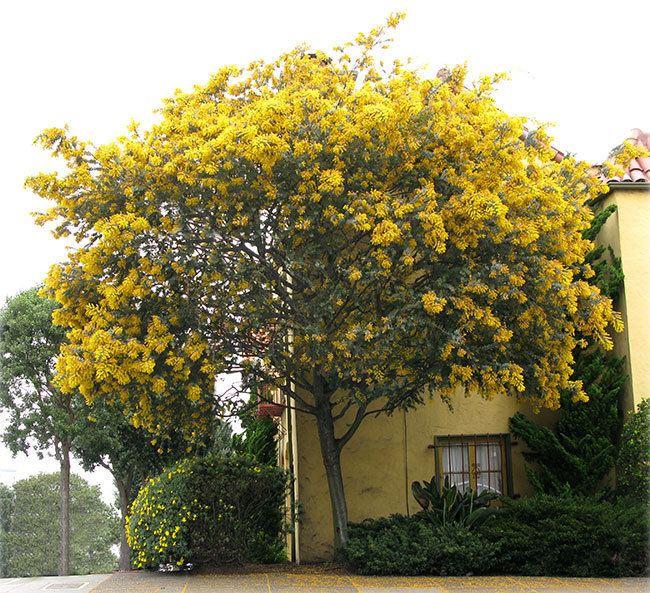 Acacia baileyana UFEI SelecTree A Tree Selection Guide