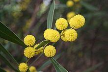 Acacia beckleri httpsuploadwikimediaorgwikipediacommonsthu