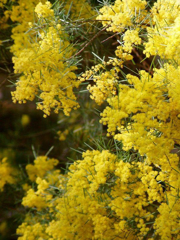 Acacia boormanii Acacia boormanii Provincial Plants and Landscapes
