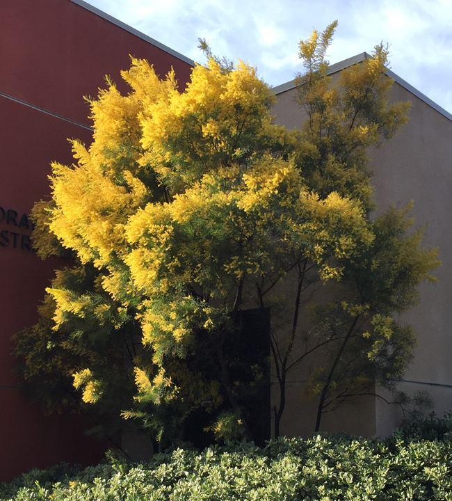 Acacia boormanii UFEI SelecTree A Tree Selection Guide