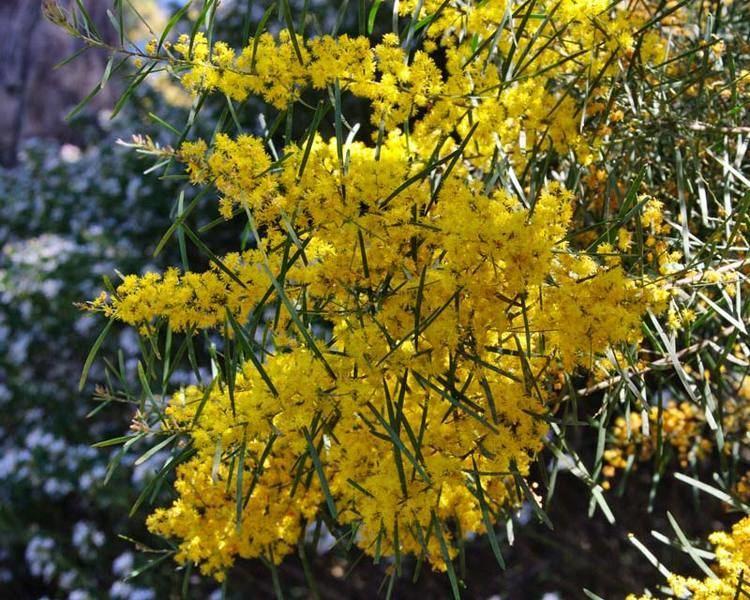 Acacia boormanii GardensOnline Acacia boormannii