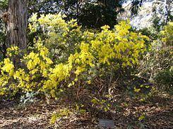 Acacia boormanii Acacia boormanii Wikipedia