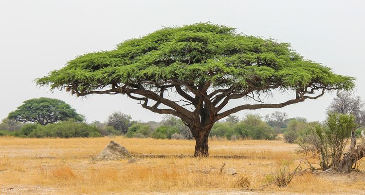 Acacia 10 Things You Didn39t Know About African Acacia Trees AFKTravel