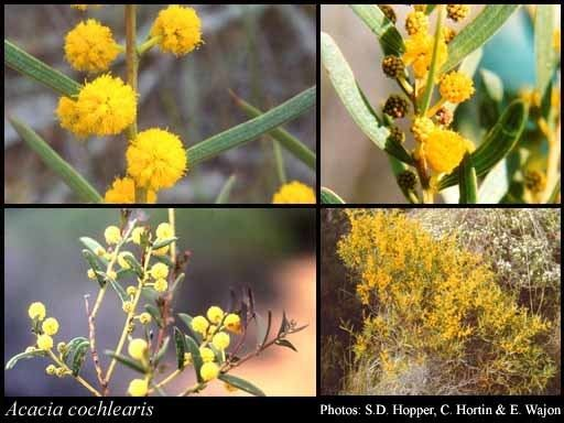 Acacia cochlearis httpsflorabasedpawwagovausciencetimage32