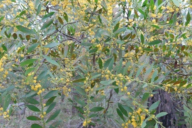 Acacia complanata Acacia complanata Birdlife Bundaberg