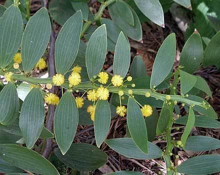 Acacia complanata wwwsaveourwaterwaysnowcomaudbaseuplacompla