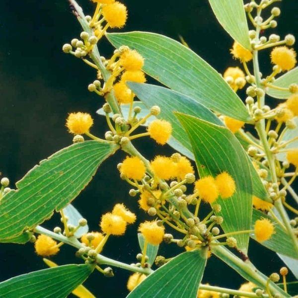 Acacia complanata Acacia complanata Noosa39s Native Plants