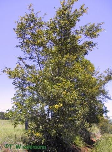 Acacia complanata Shaman Australis Botanicals Acacia complanata 3