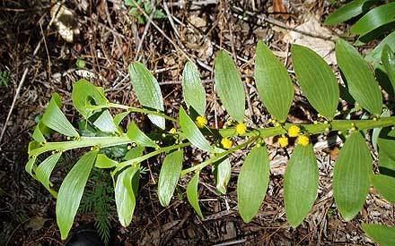 Acacia complanata Acacia complanata MIMOSACEAE Flatstemmed Wattle