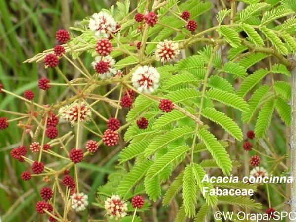 Acacia concinna Acacia concinna image PIER